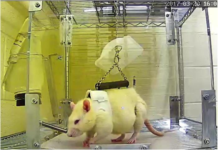 Вино и крысы: применение ресвератрола для восстановления мышц в условиях марсианской гравитации - 2