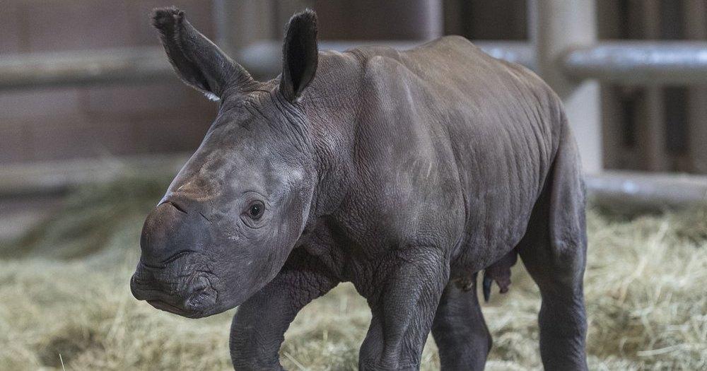 Биологи сделали важный шаг к спасению почти вымершего носорога