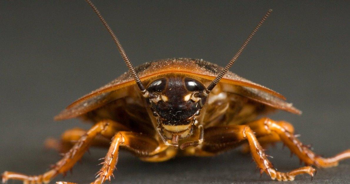 Тараканы помнят яды времен динозавров