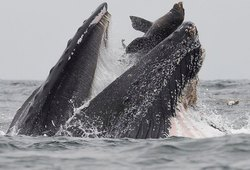 Горбатый кит поймал впасть морского льва: редчайшее фото