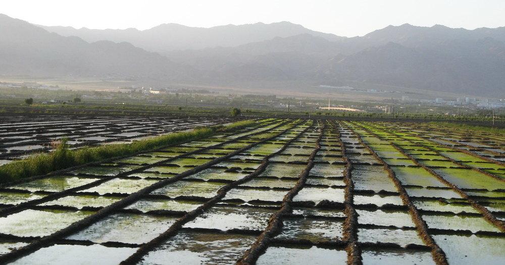 Как выращивают рис в XXI веке