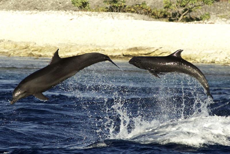 Впервые замечено, как дельфин растит детеныша другого вида