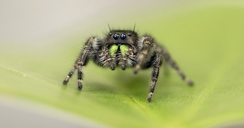 Раскрыт секрет невероятно острого зрения пауков