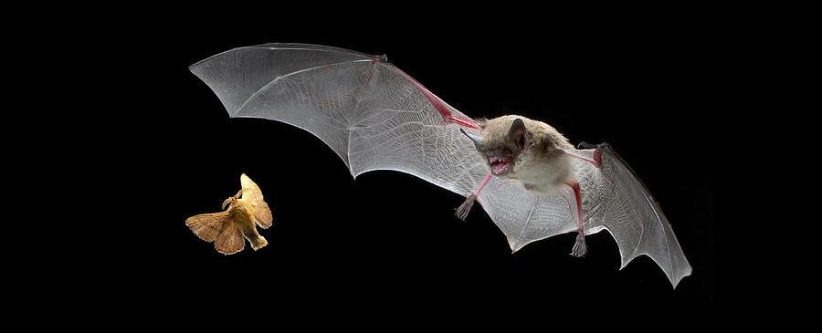 I see you: тактика обхода маскировки добычи у летучих мышей - 1