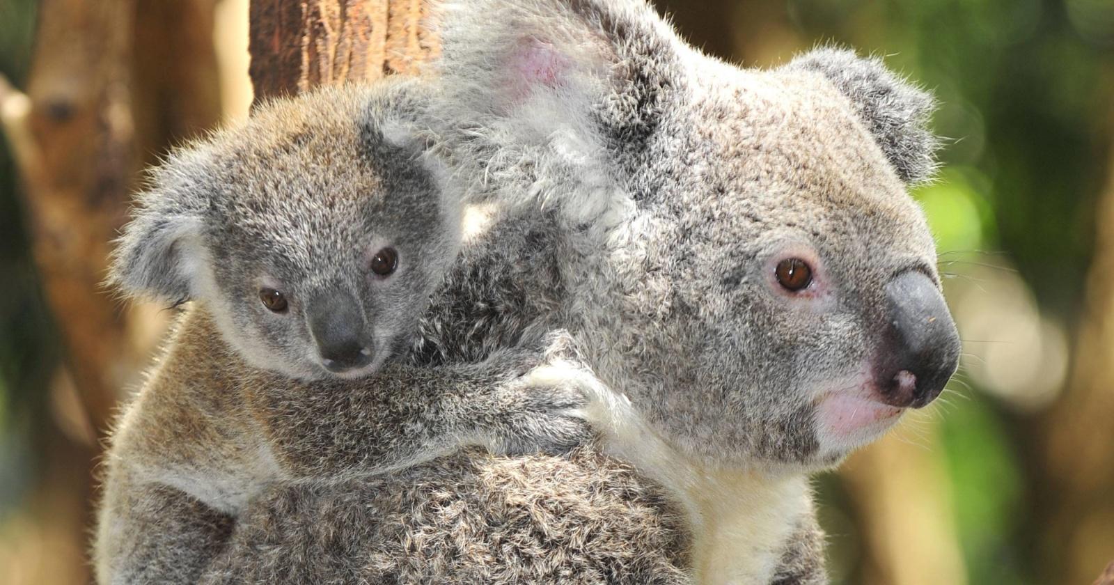 Австралийцы выбрали самую милую коалу