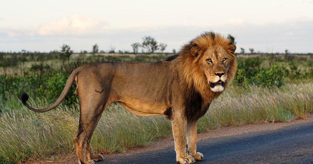В ЮАР лев охотился на антилопу прямо на шоссе