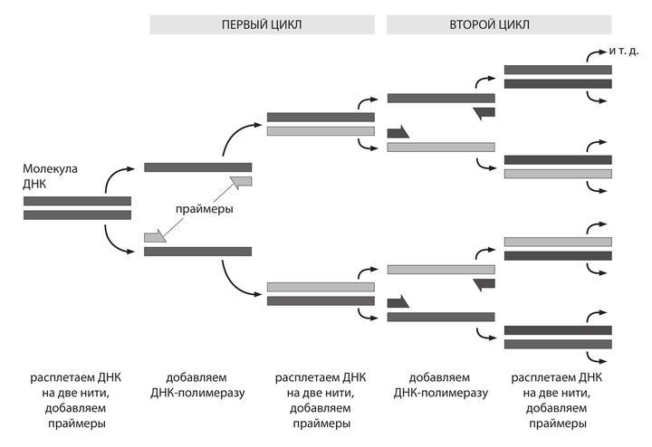 Умер нобелевский лауреат Кэри Муллис — изобретатель полимеразной цепной реакции ДНК - 3