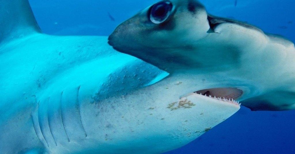 Как акула-молот отобрала добычу у рыболова