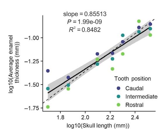 Зубная фея тут не работает: структура эмали зубов крокодилов и их доисторических предков - 10