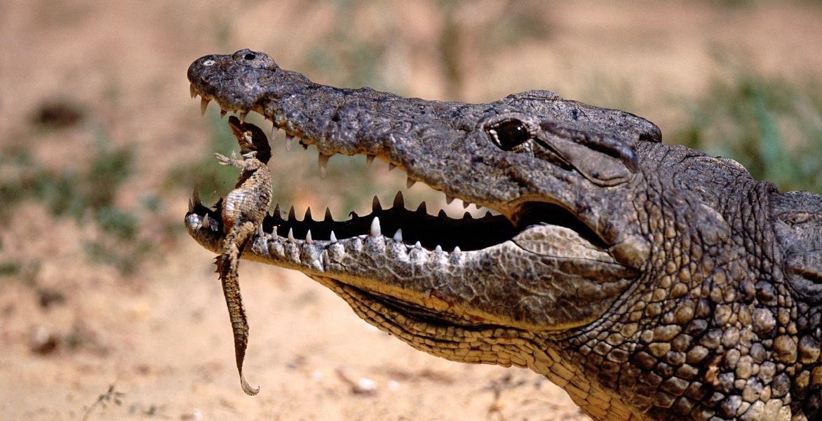 Зубная фея тут не работает: структура эмали зубов крокодилов и их доисторических предков - 4