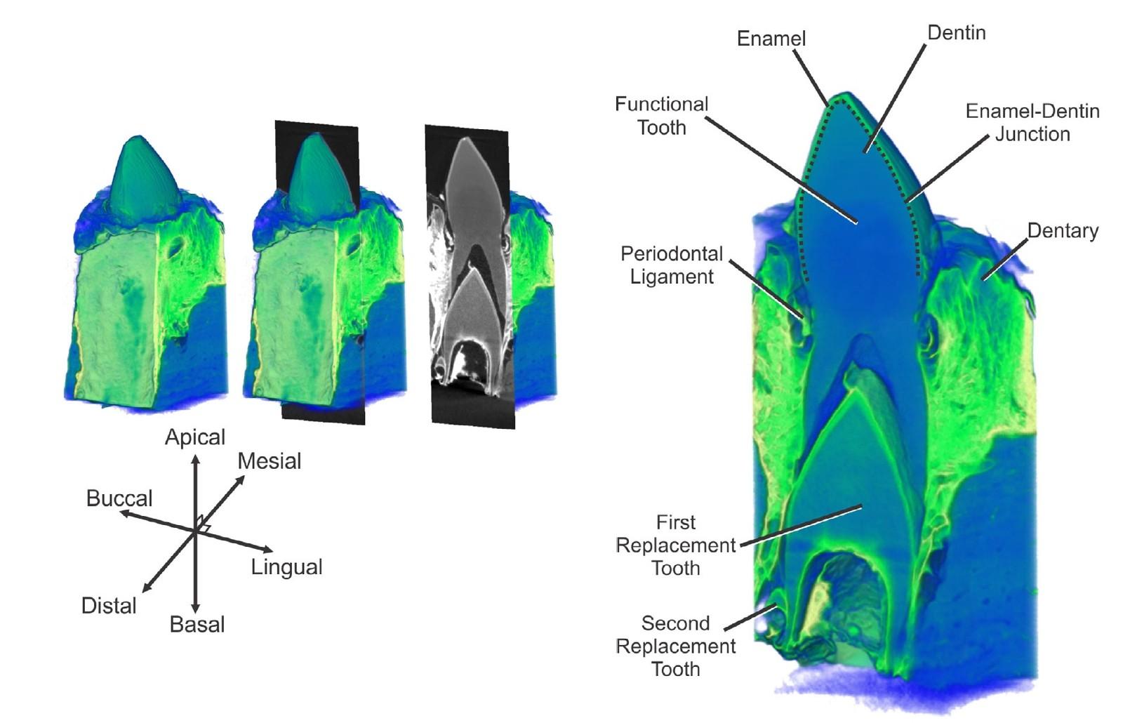 Зубная фея тут не работает: структура эмали зубов крокодилов и их доисторических предков - 5