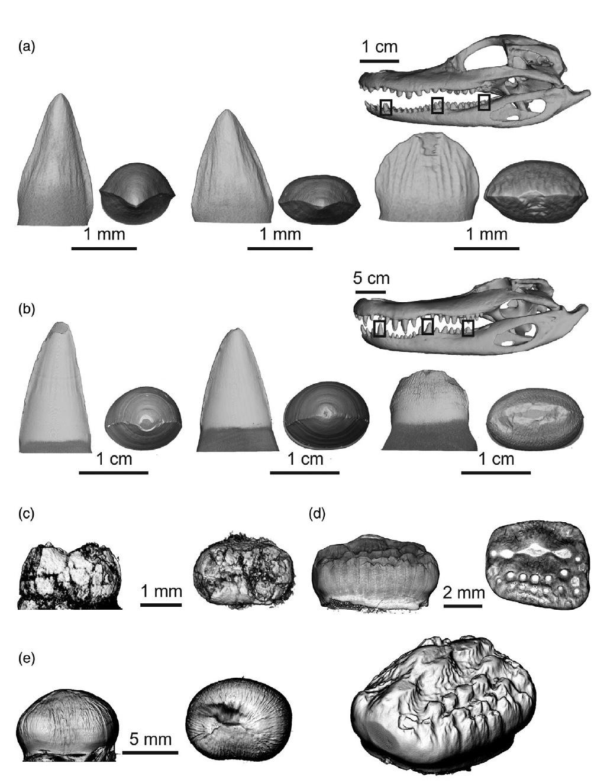 Зубная фея тут не работает: структура эмали зубов крокодилов и их доисторических предков - 6