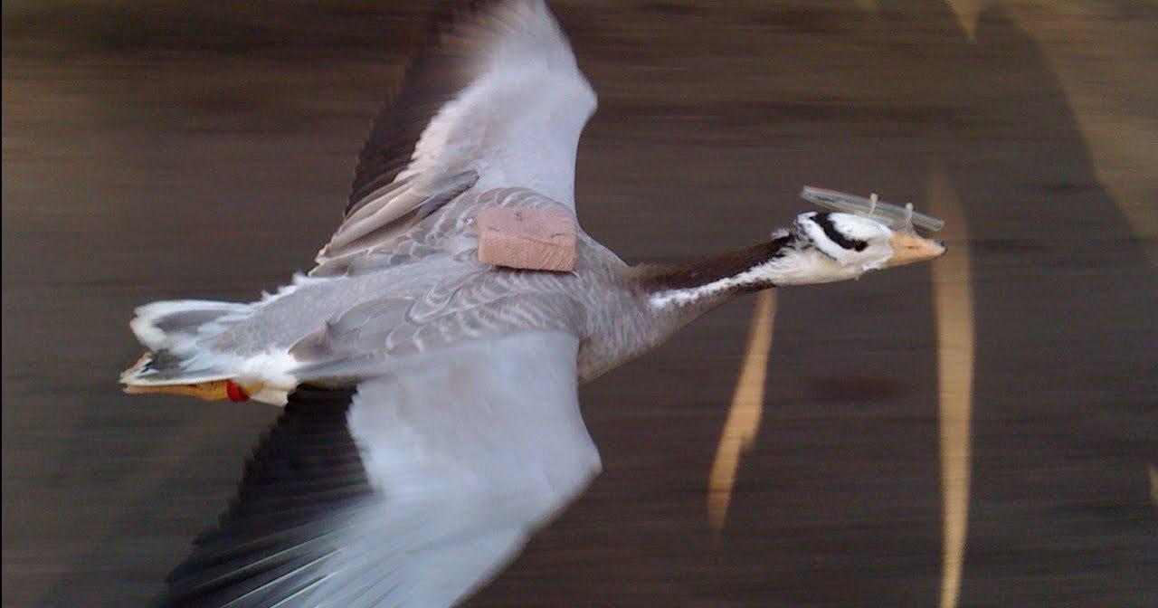 Доказано, что гуси могут взлететь над вершиной Эвереста