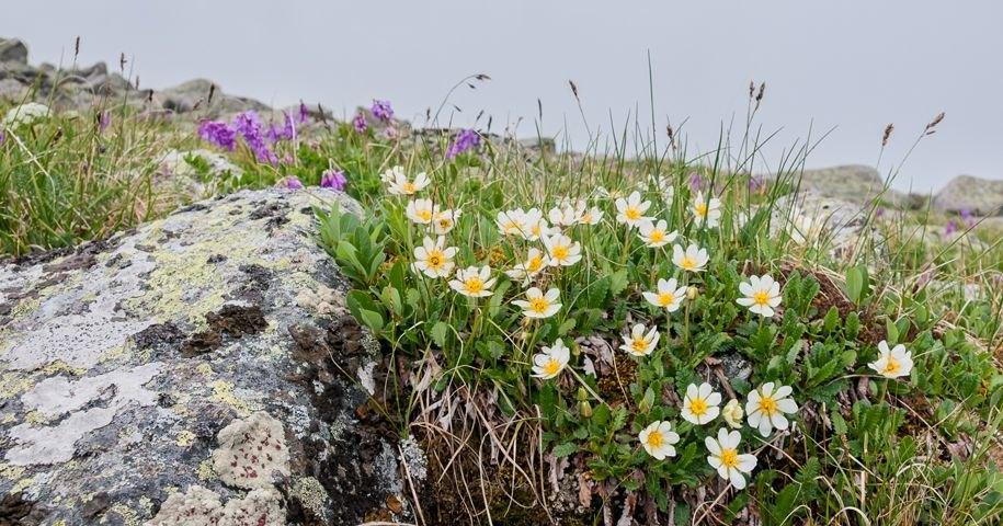В арктическом Заполярье появились ромашки и одуванчики