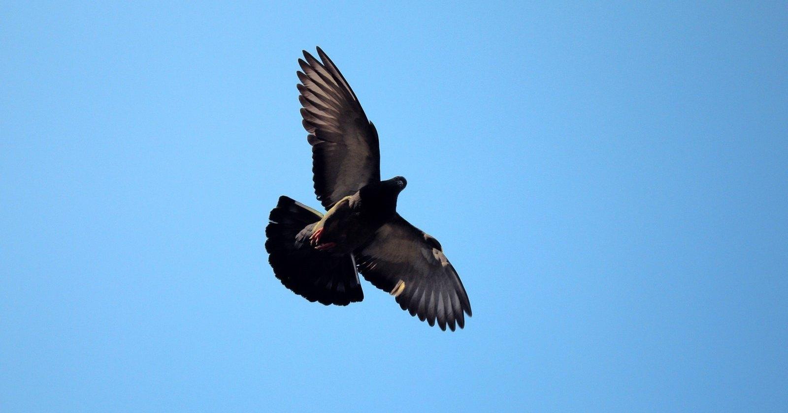 Рассекречены документы об использовании голубей в операциях ЦРУ