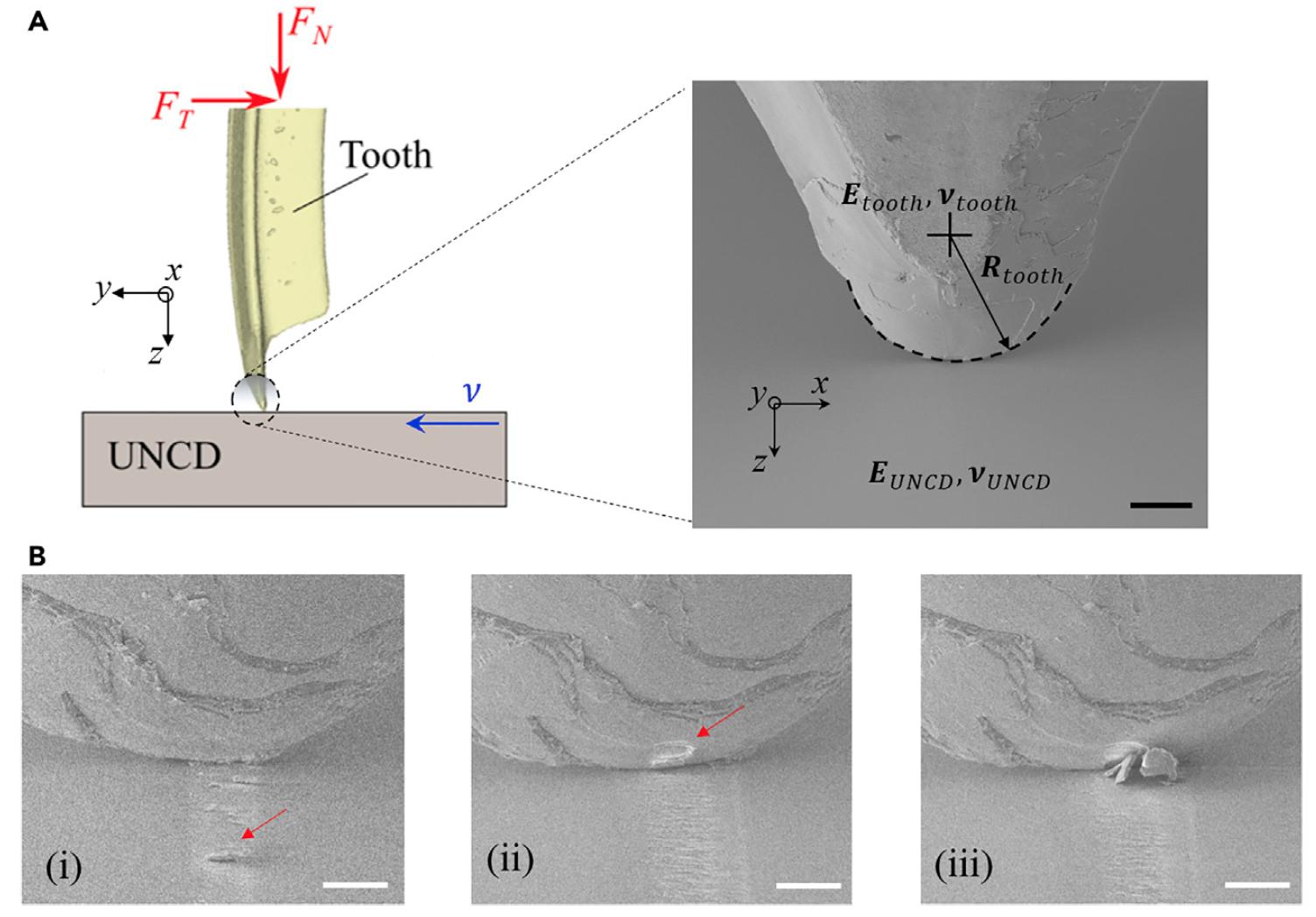 Колючие и острые, куда ни посмотри: механизм самозаточки зубов морских ежей - 6