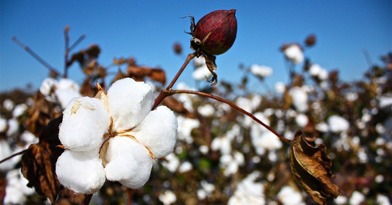 ГМО-растения оказались полезными для людей
