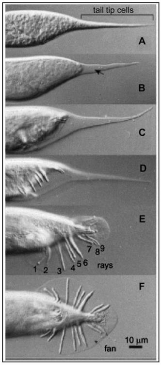 Нематоды-экстремалы из озера Моно: искупаться в мышьяке и выжить - 10