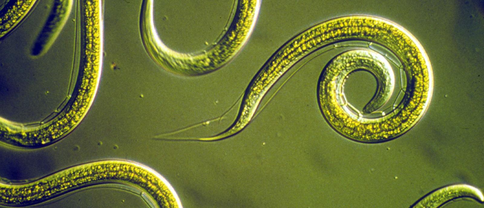 Нематоды-экстремалы из озера Моно: искупаться в мышьяке и выжить - 1