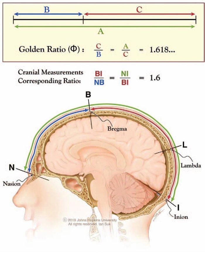 В черепе человека нашли золотое сечение: тайны мозга