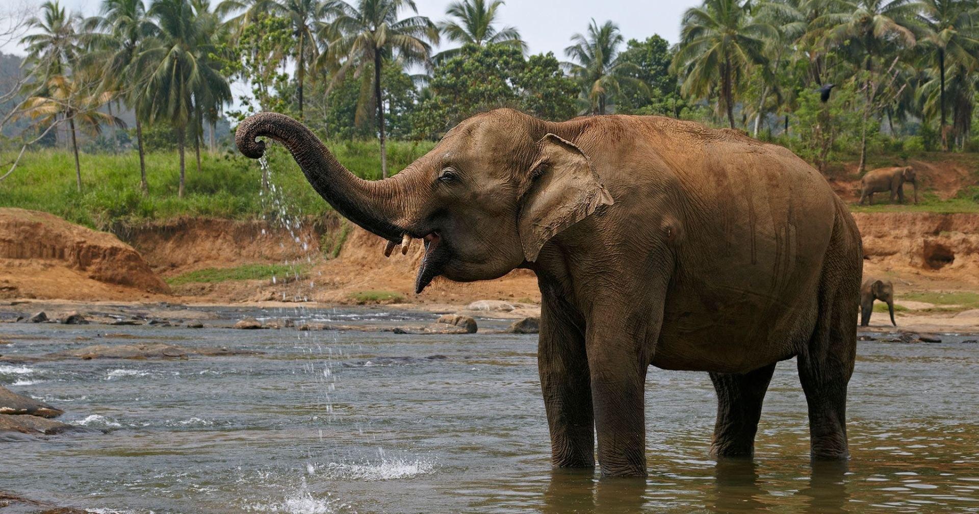 Пять тайских слонов погибли при попытке спасти тонущего слоненка