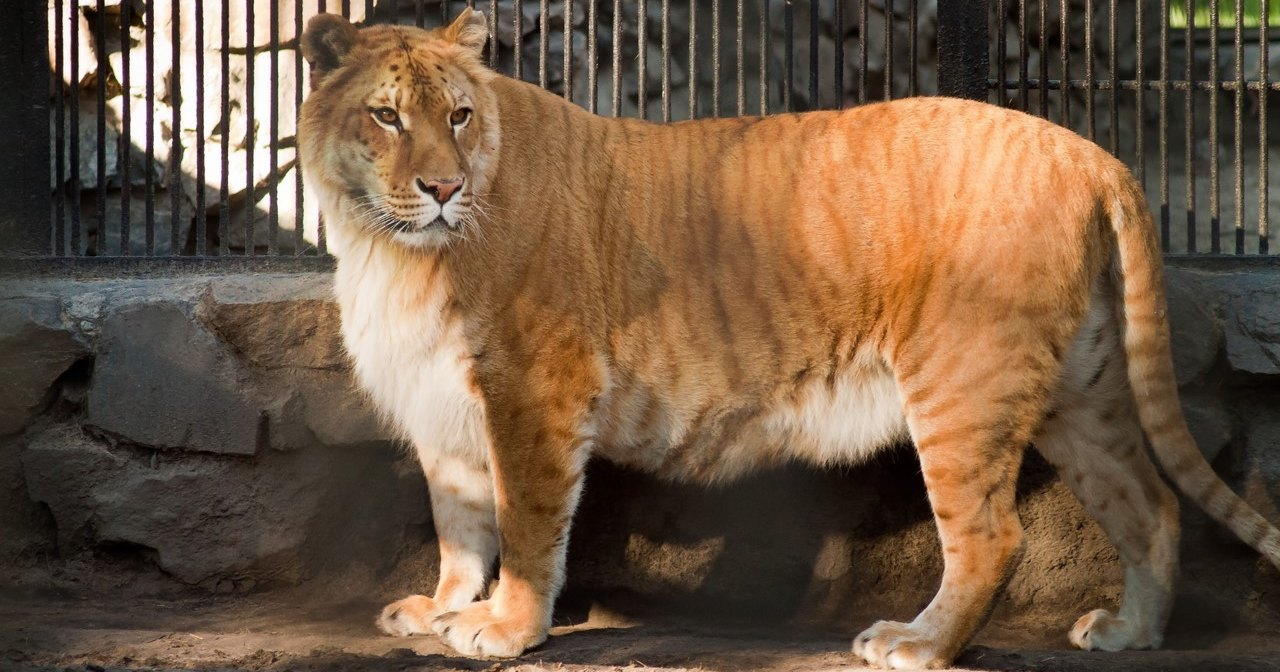 В Приморском сафари-парке поселился лигр