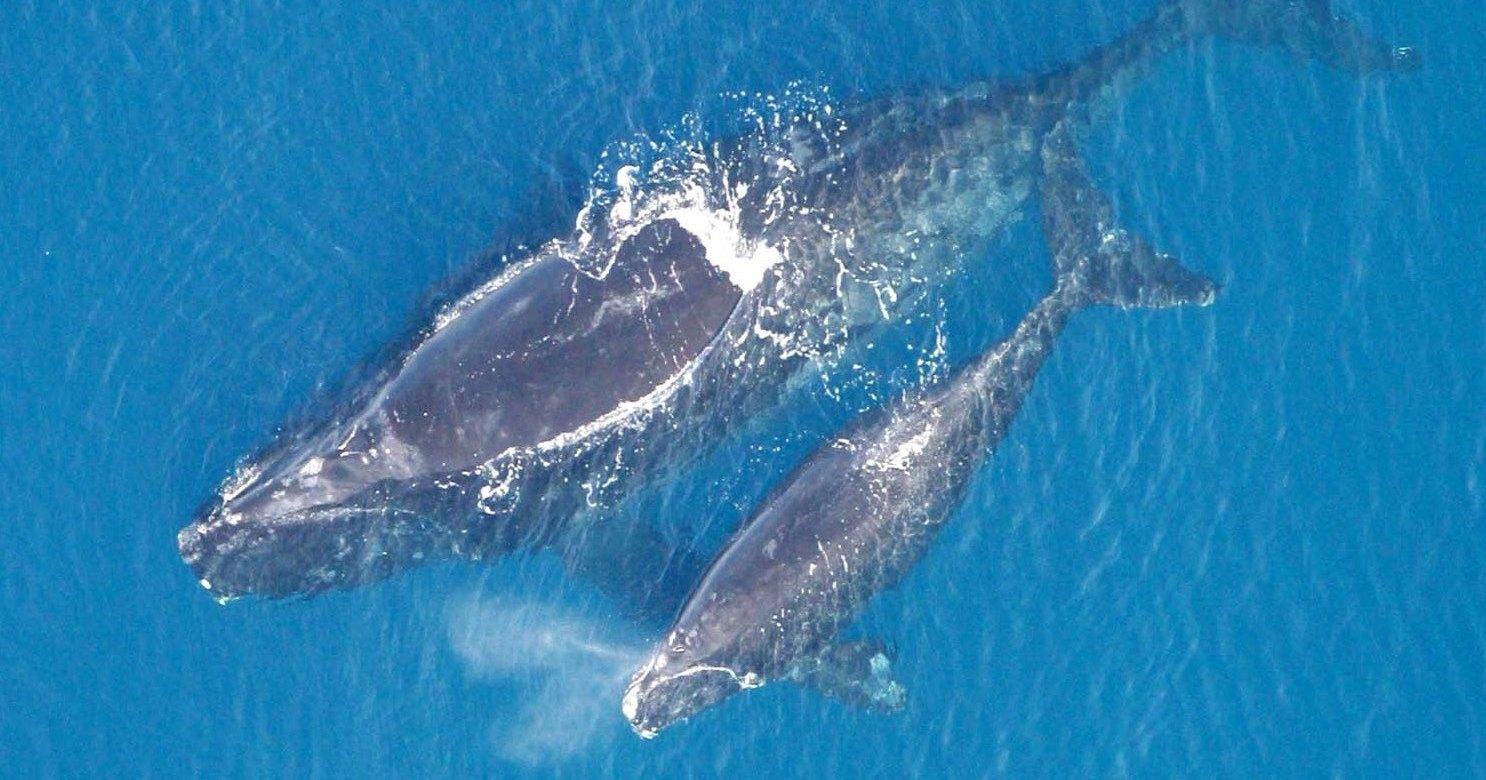 Южные киты спасаются от косаток переходя на шепот