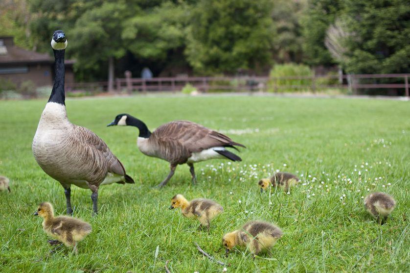 Генетика любви: межполовой конфликт как основа сотрудничества в парах моногамных птиц - 2