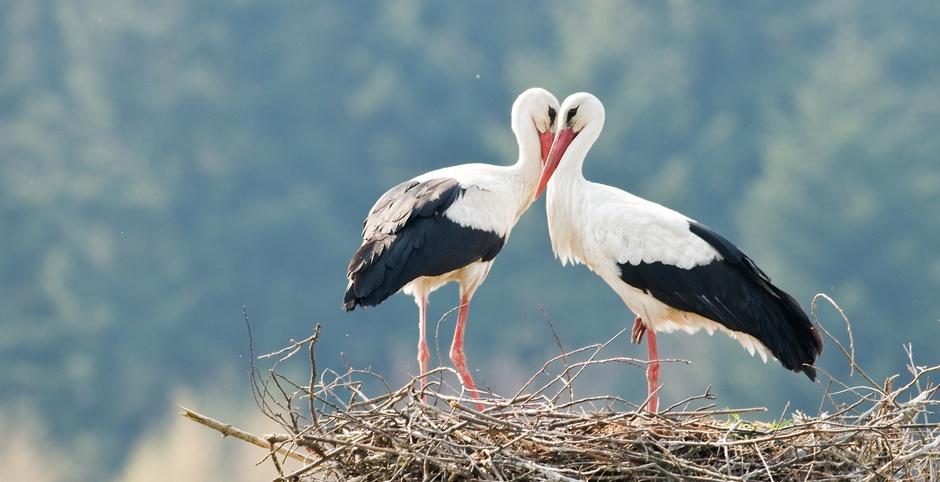 Генетика любви: межполовой конфликт как основа сотрудничества в парах моногамных птиц - 1
