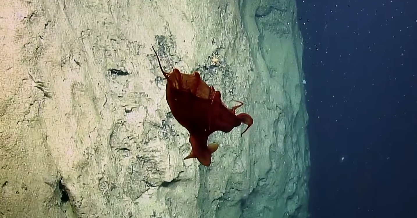 Необычного глубоководного осьминога сняли на видео