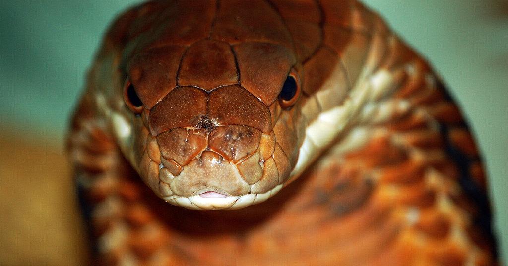 Как ловят ядовитых змей в канализации Паттайи