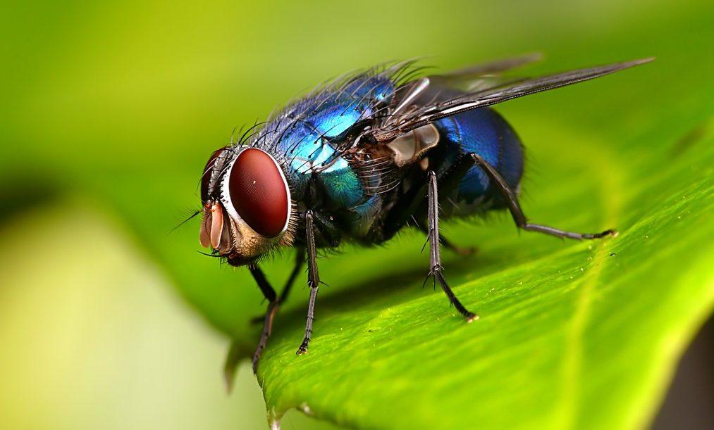 Назойливые асы: кинематика «инвертированного» приземления у синих мух - 1