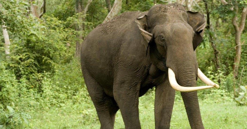 В Индии пойман слон-убийца