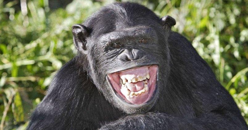 Современные обезьяны оказались умнее наших предков