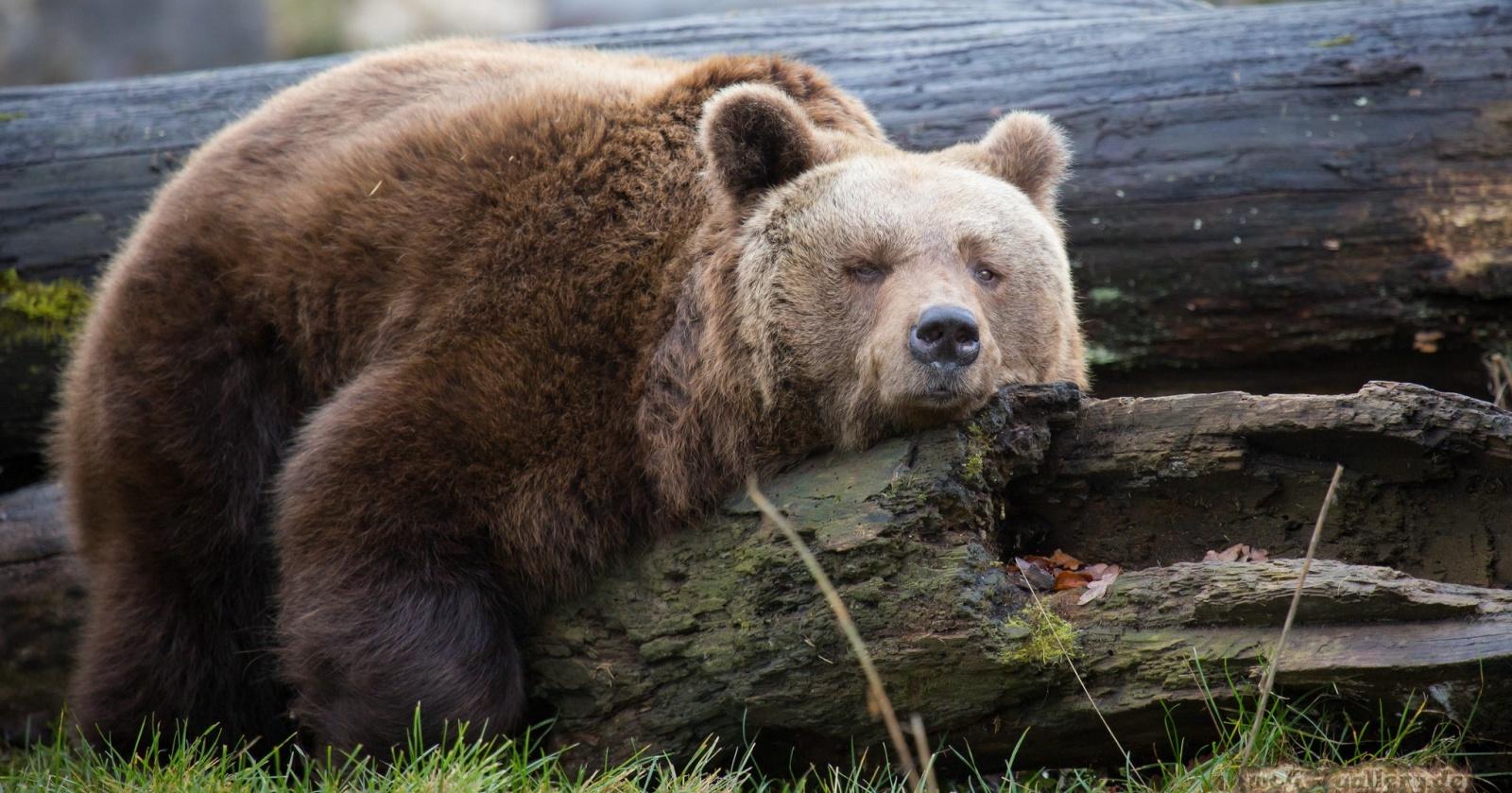 В сафари-парке «Тайган» запланировано истребление медведей
