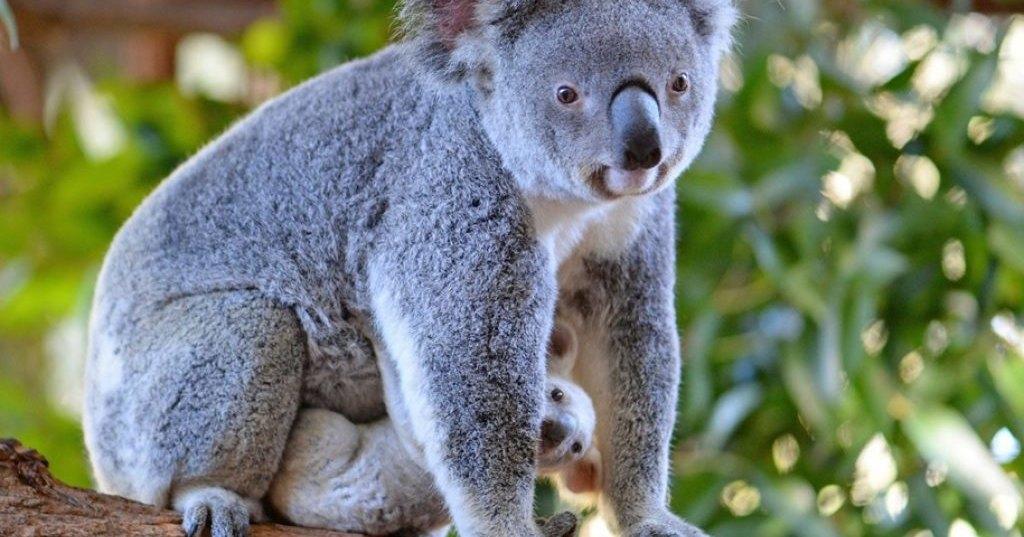 На помощь коалам-погорельцам собрано 640 тысяч долларов