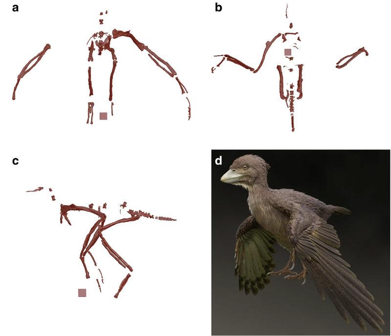 Найдена одна из древнейших птиц современного типа