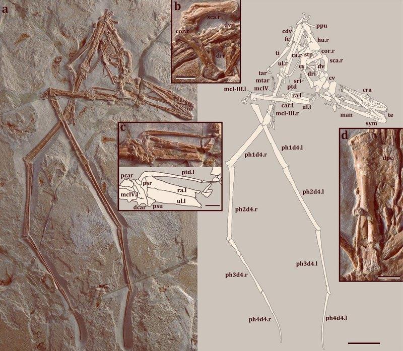 Описан новый вид птерозавров