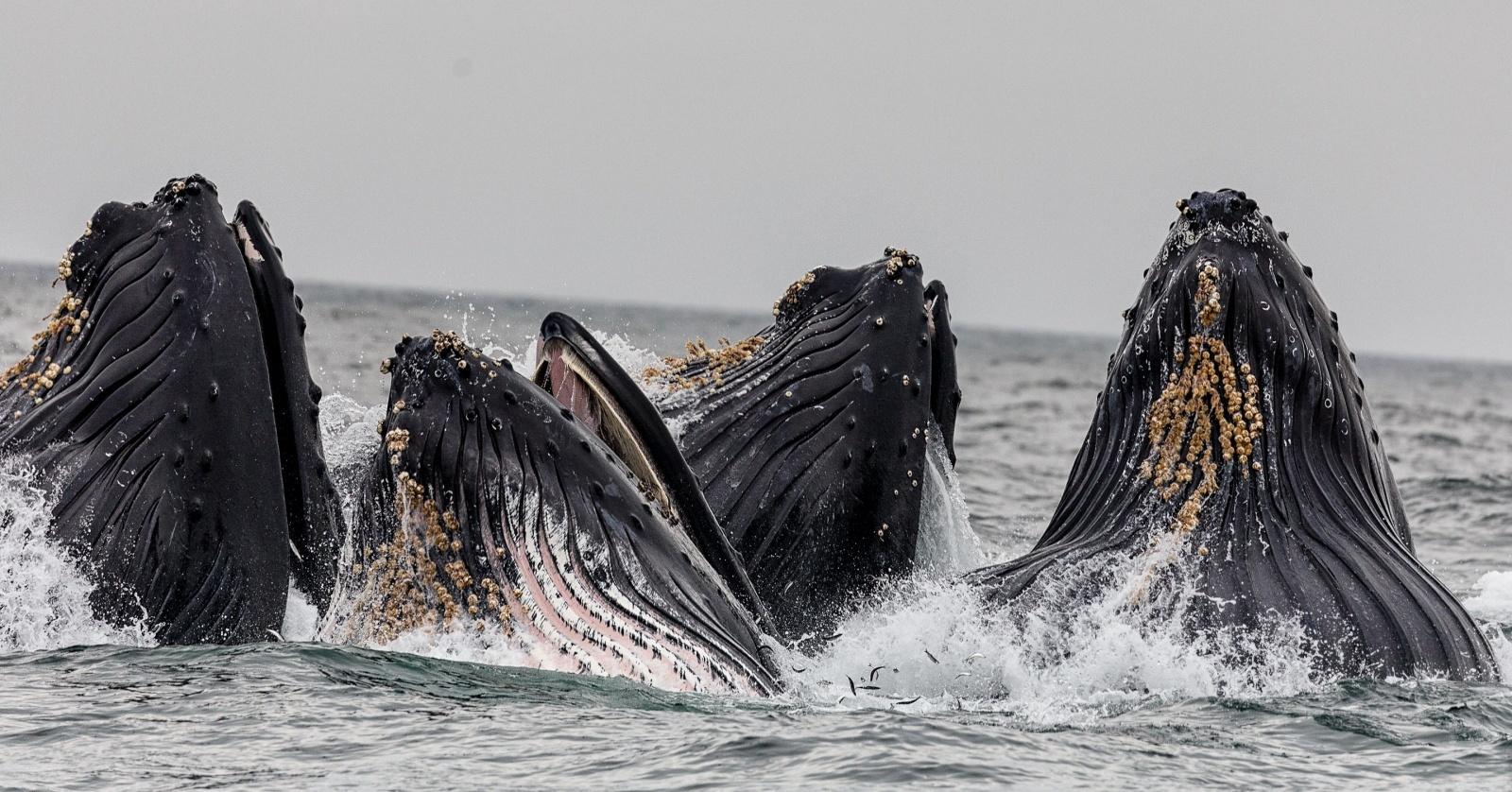 Почему одни киты — просто большие, а другие — гигантские