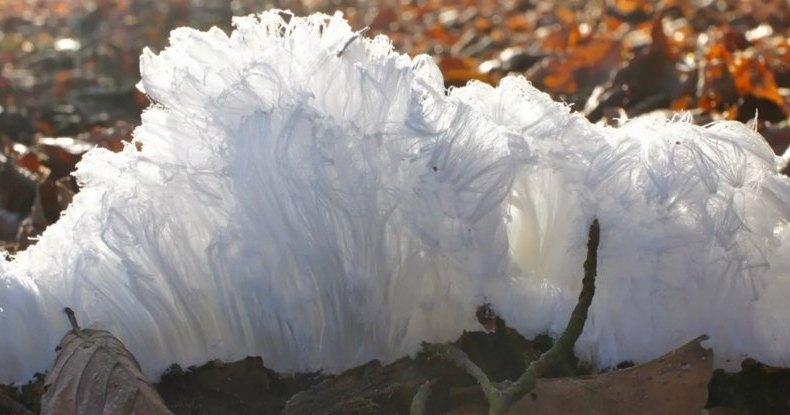 Почему на деревьях вырастают «ледяные волосы» и при чем здесь грибы