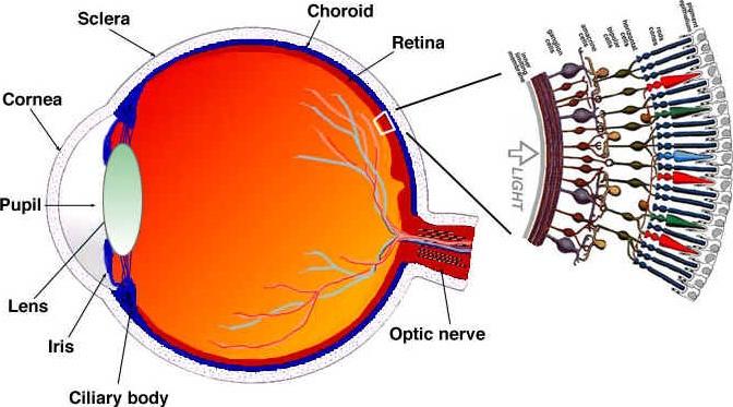 состав глаз