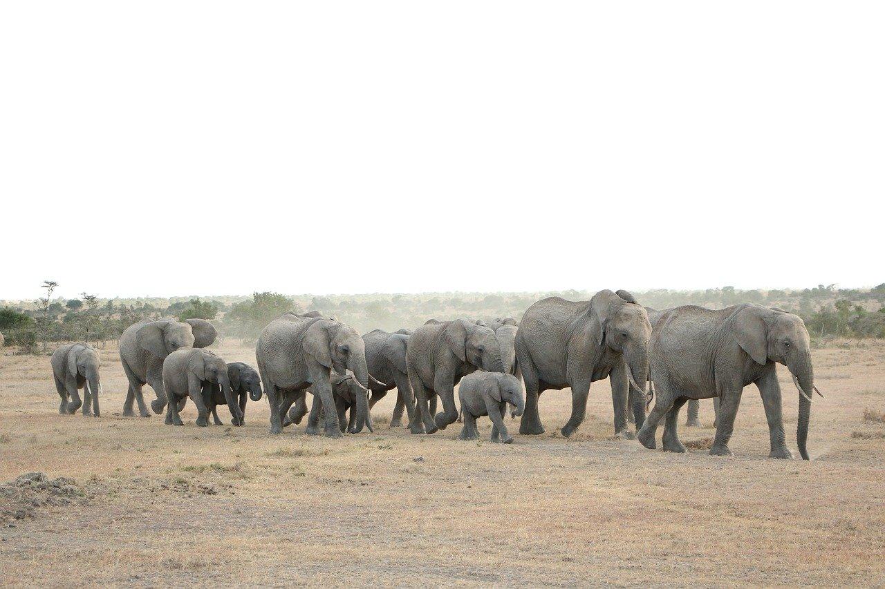 Очередь слонов - pixabay.com