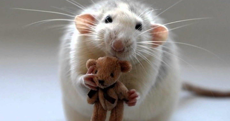 Продажи крыс в РФ выросли вдвое