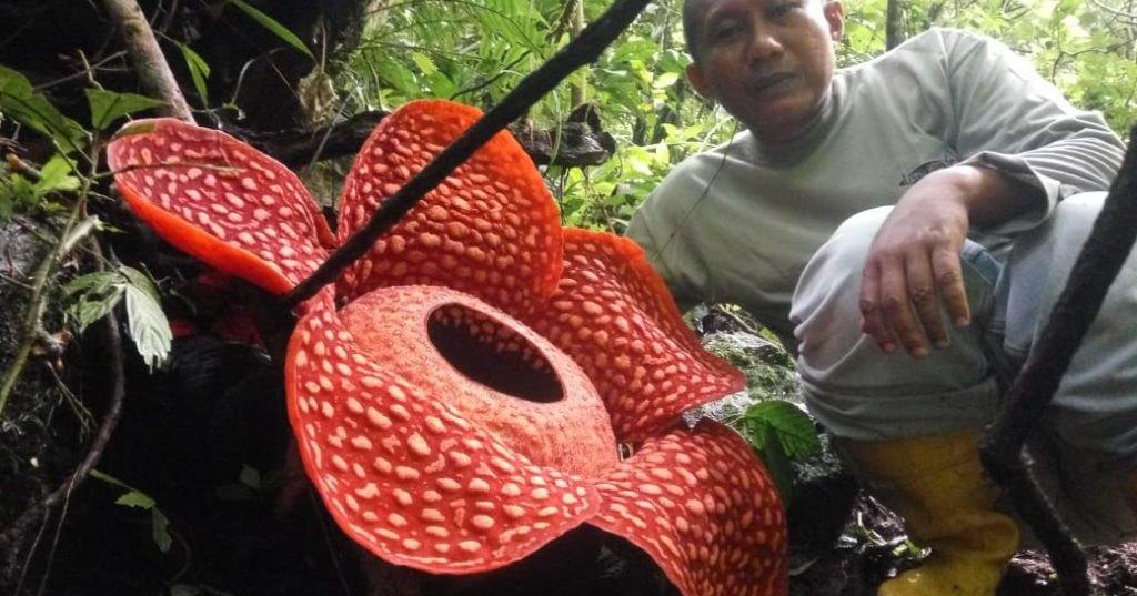 В Индонезии найден цветок рекордной величины