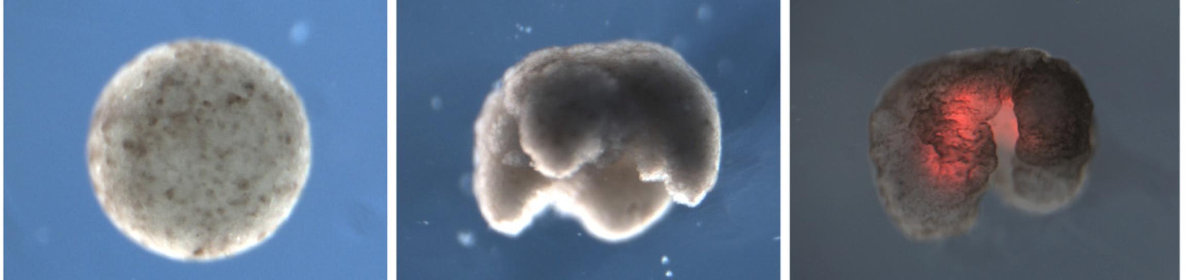 Ксеноботы: живые нанороботы из клеток лягушки - 1
