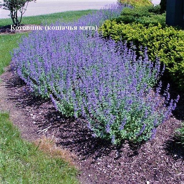 Нет клещам! Растения против переносчиков болезни Лайма - 6