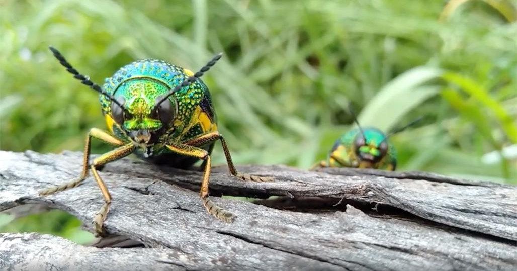 Выяснилось, зачем жукам радужный окрас