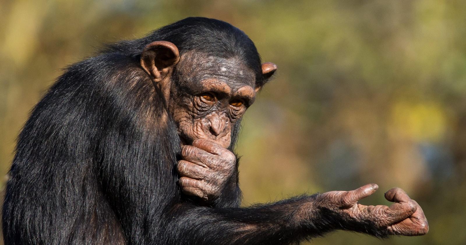 Как шимпанзе ведут себя в детской комнате