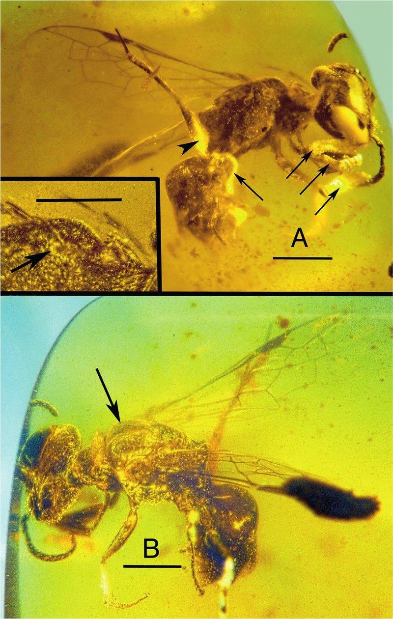В бирманском янтаре найдена меловая пчела с триунгулинами