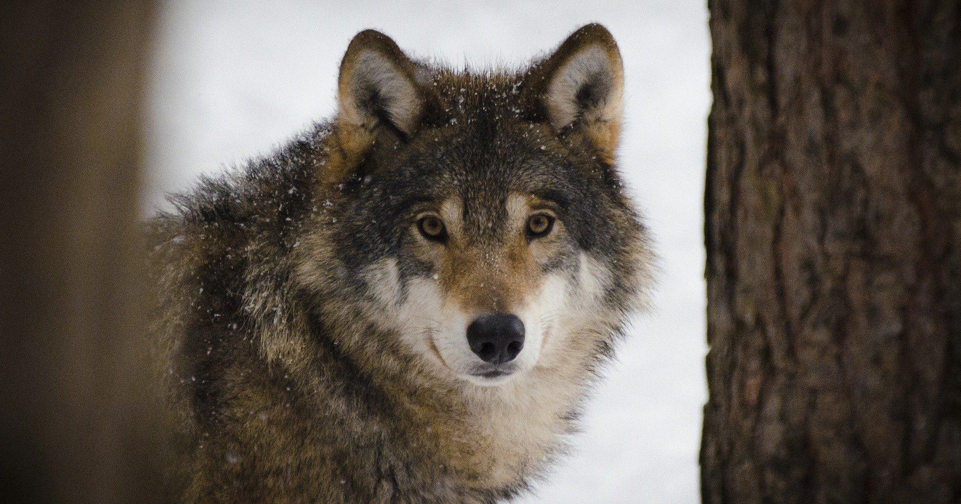 Снимок волков, который все понимали неправильно три года